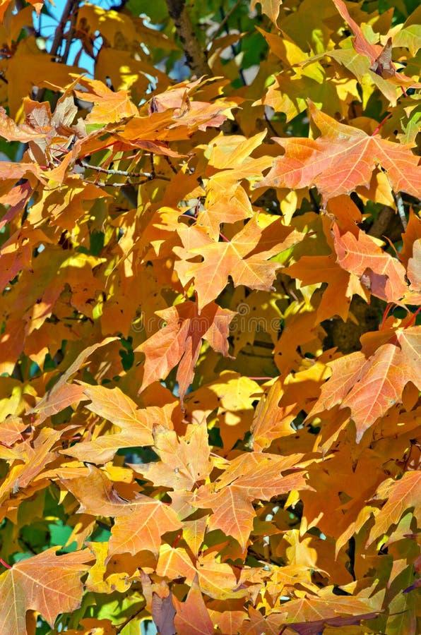 秋天的五颜六色的树 图库摄影