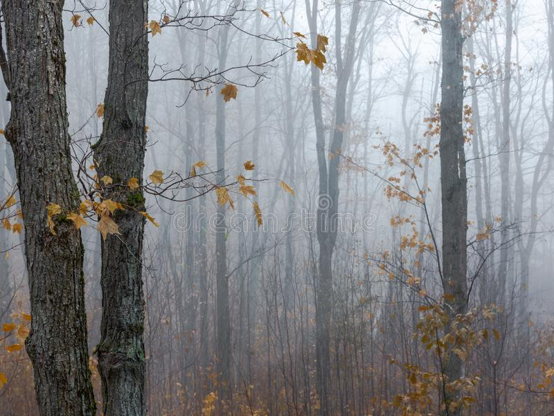 秋天的有雾的森林 关闭与叶子的树 库存图片