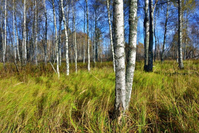 秋天的桦树树丛 库存照片