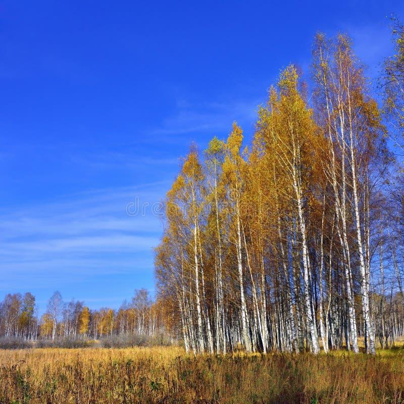 秋天的桦树树丛 库存图片