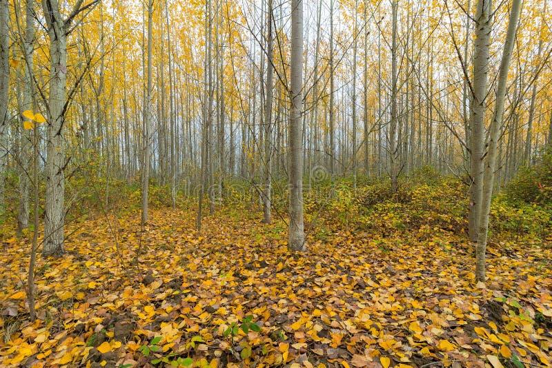 Download 秋天的白扬树树丛 库存照片. 图片 包括有 叶子, 白杨树, 北部, 黄色, 秋天, 结构树, 农村, 树丛 - 62528060