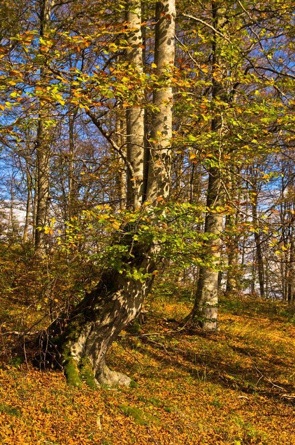 秋天的颜色在一个森林晴天, Radocelo山里 免版税库存照片