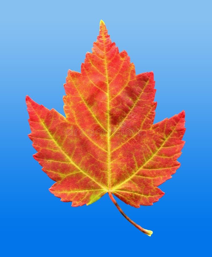秋天秋天叶子槭树红色 库存照片