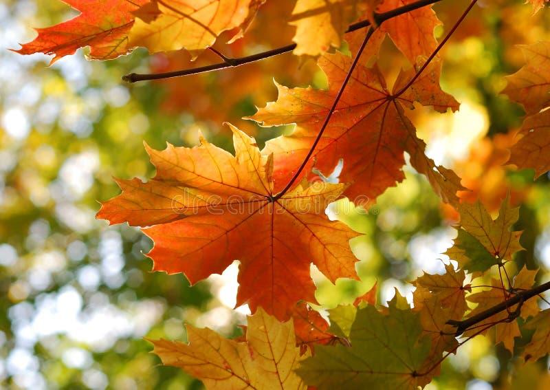 秋天秋天留下槭树 免版税库存图片