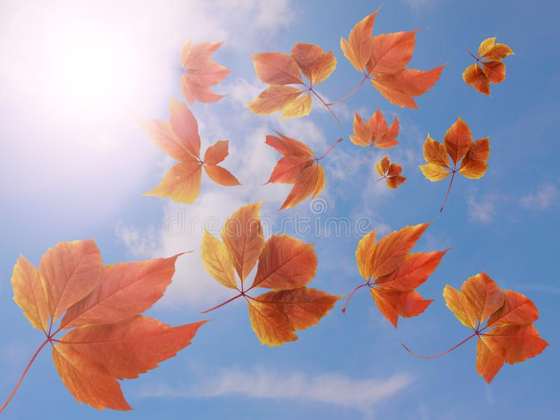 秋天秋天背景 跌倒反对蓝天和白色云彩的许多五颜六色的红色和橙色秋叶与太阳光芒- 库存图片
