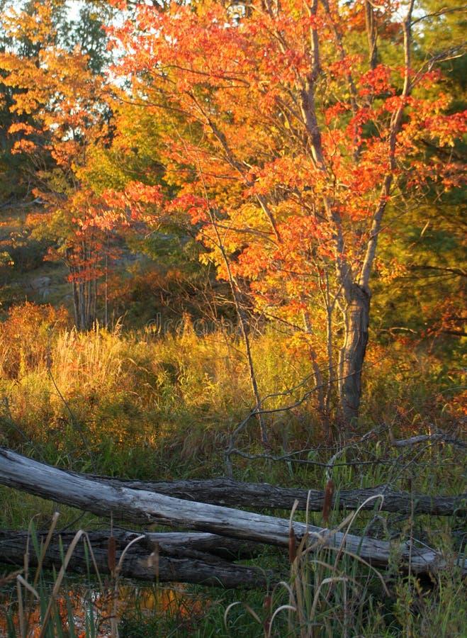 秋天秋天颜色树灰色木材篱芭风景 免版税库存照片