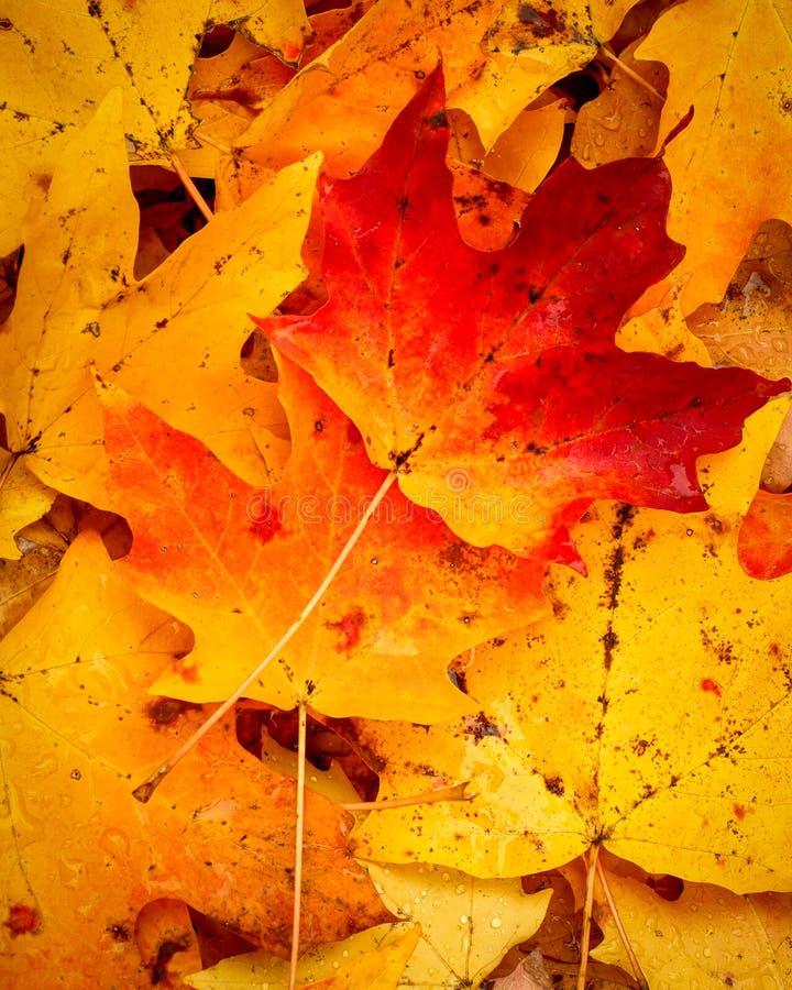 秋天精采地色的叶子  免版税图库摄影
