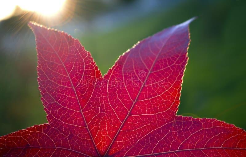 秋天红色叶子 免版税库存照片
