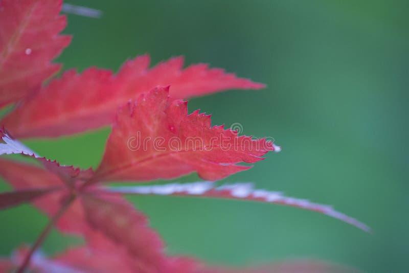 秋天红色和紫色叶子  库存照片