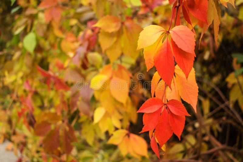 秋天红色和黄色弗吉尼亚爬行物,维多利亚爬行物(Parthe 库存图片