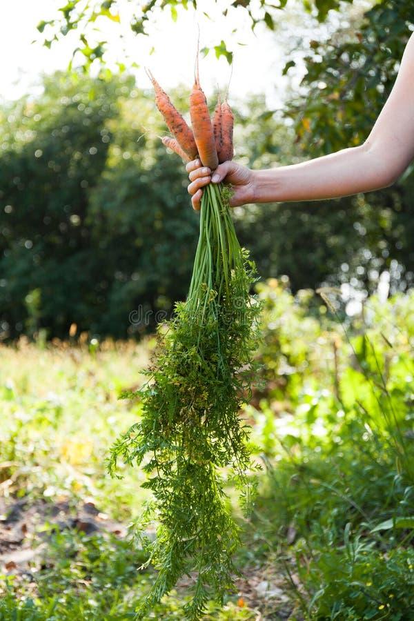 秋天红萝卜收获,生长领域 生物eco农场 免版税库存照片