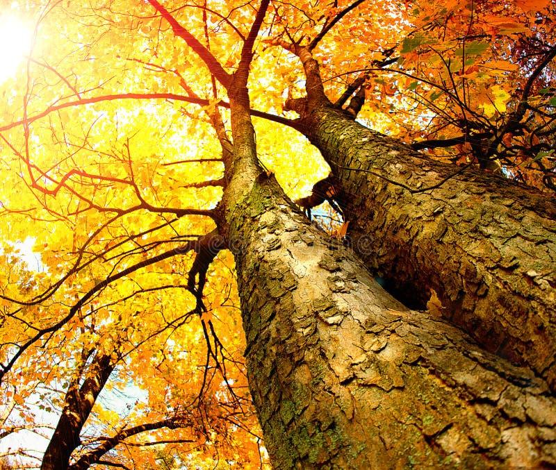 秋天结构树 免版税库存图片
