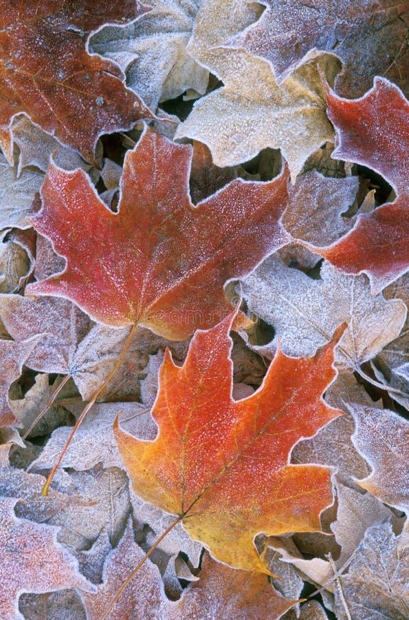 秋天结霜了叶子槭树 免版税库存照片