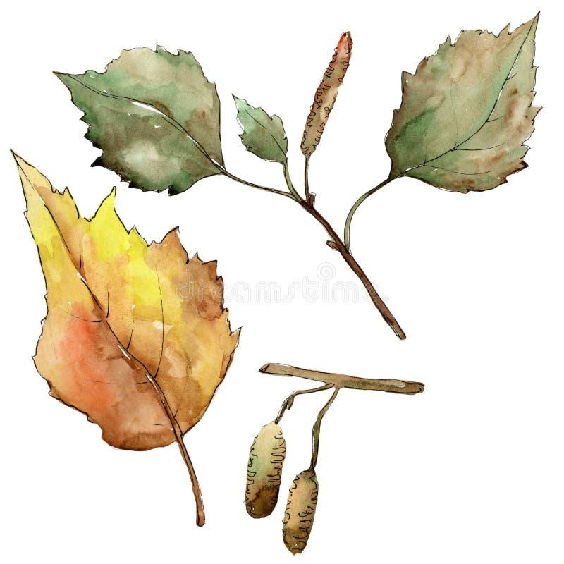 秋天绿色和加拿大桦叶子 叶子植物植物园花卉叶子 被隔绝的例证元素 向量例证