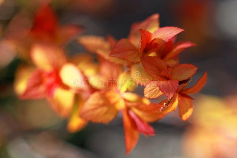 秋天美丽的红色和黄色叶子 库存图片
