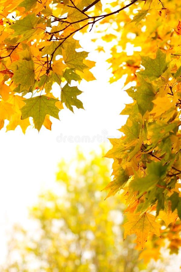 秋天背景叶子槭树白色 库存图片