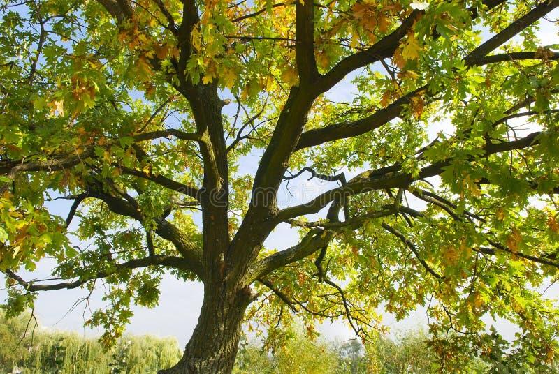 秋天背景本质结构树 免版税库存图片