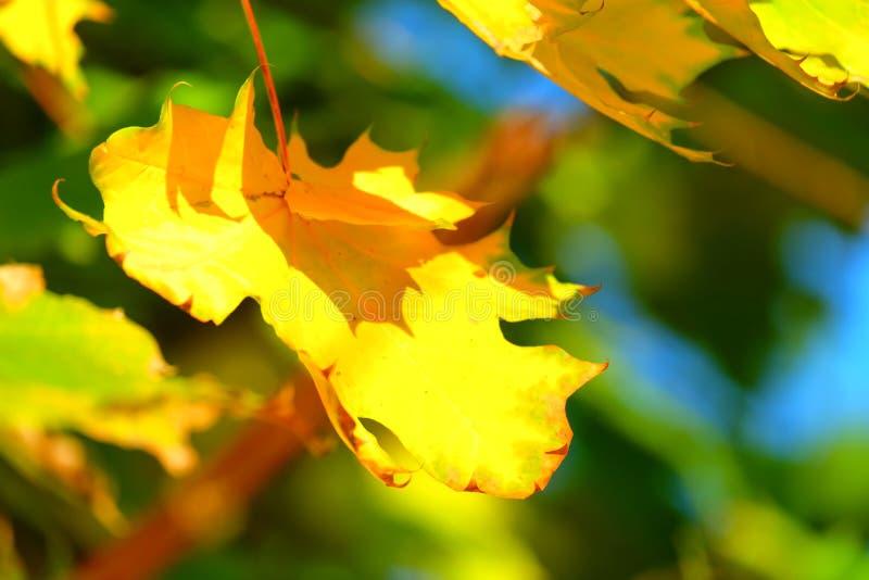 秋天背景查出的叶子槭树白色 免版税图库摄影