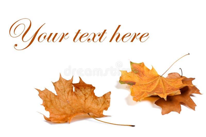 Download 秋天背景查出的叶子白色 库存图片. 图片 包括有 本质, 背包, 上色, brander, 特写镜头, 装饰 - 59101305