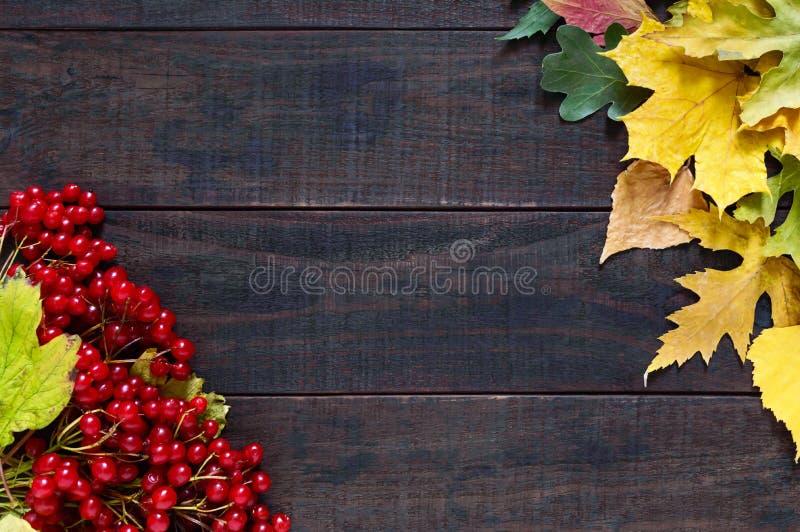秋天背景特写镜头上色常春藤叶子橙红 荚莲属的植物的水多的红色莓果,烘干在黑暗的木背景的叶子 库存照片