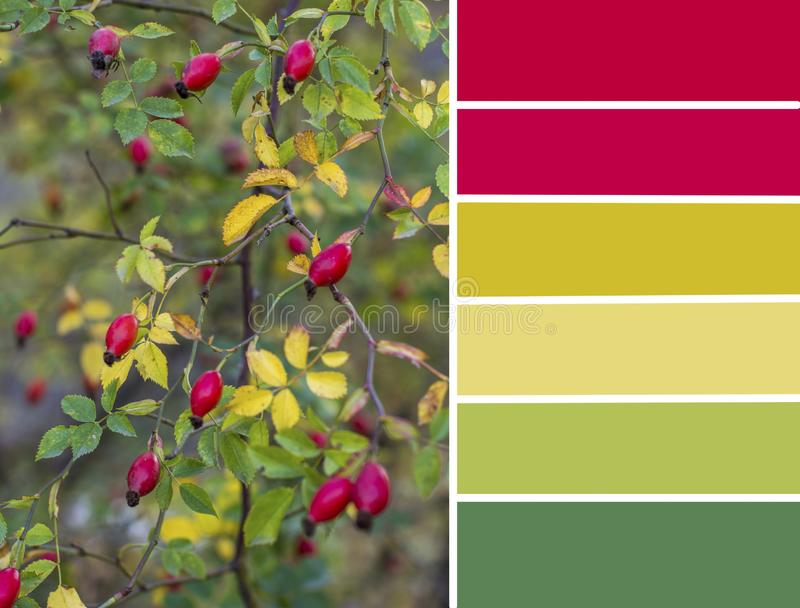 秋天色板显示 狂放的野玫瑰果自然调色板  免版税图库摄影