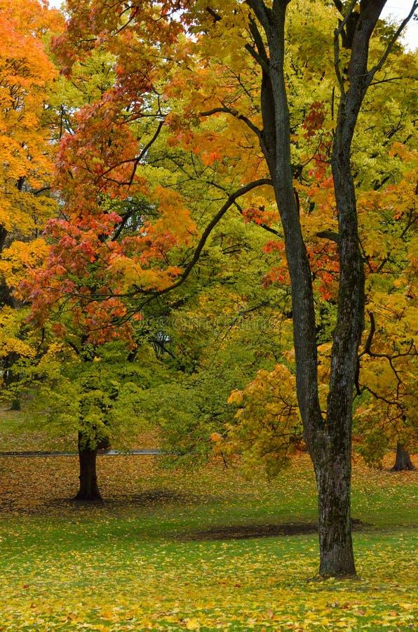 秋天色的槭树叶子和树 免版税库存照片
