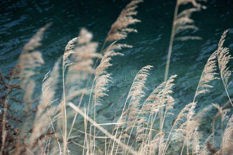 秋天芦苇湖边温暖的对比 库存照片
