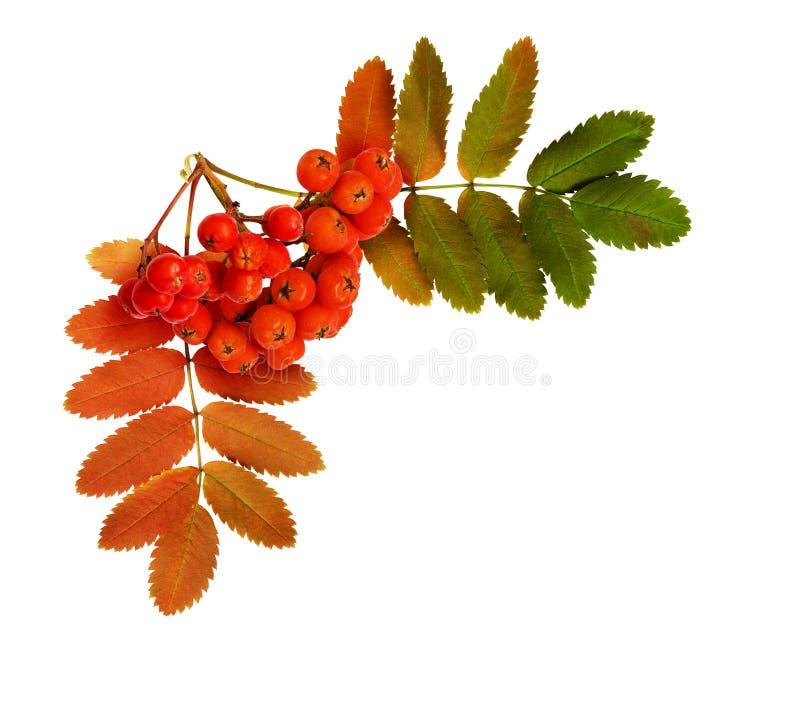 秋天花楸浆果和叶子在壁角安排 免版税库存图片