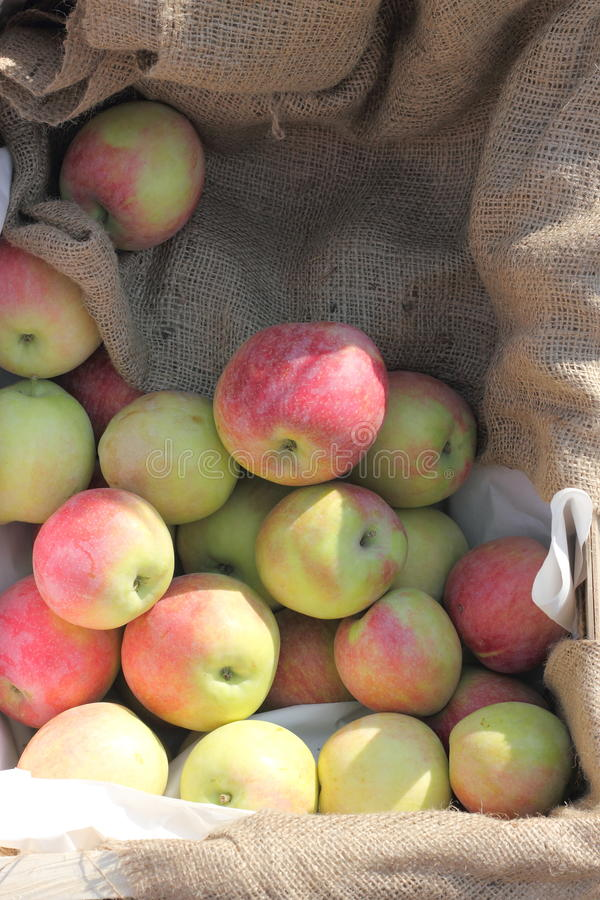 秋天苹果收获 免版税库存照片