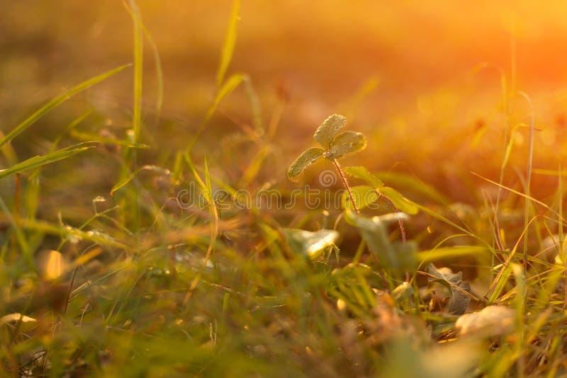 秋天草在日落阳光下 绿色橙黄抽象自然被弄脏的背景 宏指令, bokeh 免版税图库摄影