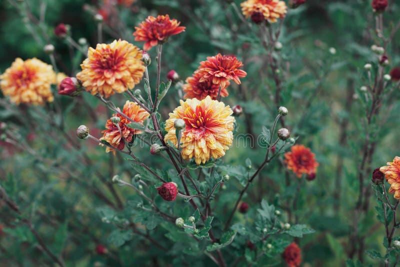 秋天菊花在雨以后开花草甸 免版税库存照片