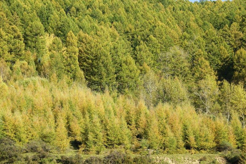 秋天落叶松属森林 库存照片