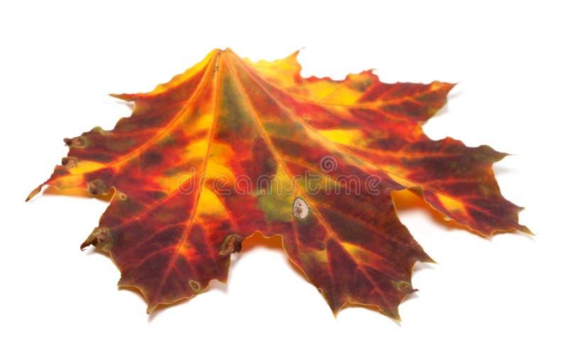 秋天被染黄的枫叶 免版税库存照片