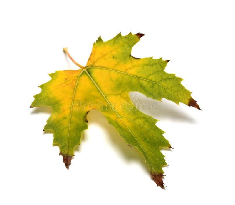 秋天被染黄的叶子 免版税图库摄影