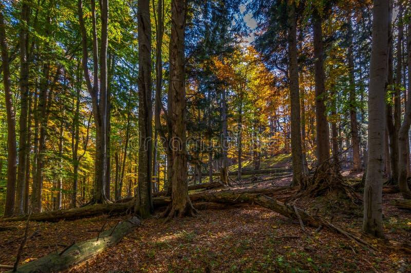 秋天褐色和黄色森林充分在落叶和与在途中的lightrays由Stadelwand山顶决定 库存图片