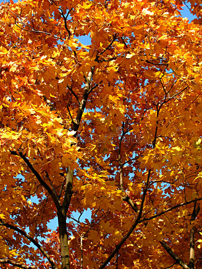 秋天金槭树 库存照片
