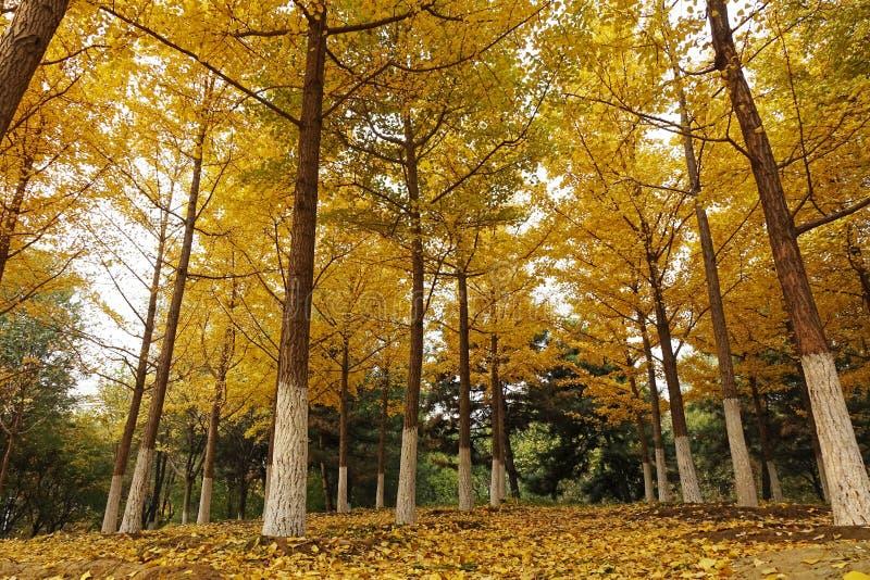 秋天银杏树树在郊区 免版税库存图片