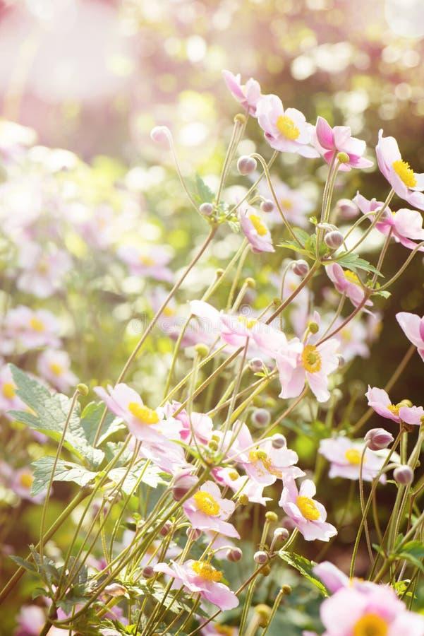 秋天银莲花属在庭院里 图库摄影