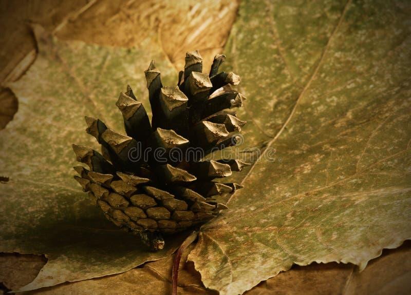 秋天锥体烘干了叶子槭树杉木 库存照片