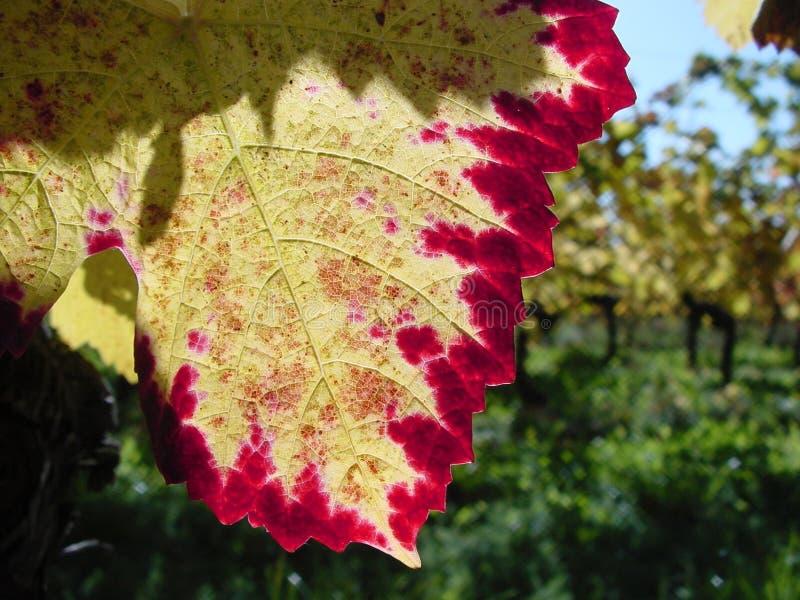 秋天颜色早期的口味藤 图库摄影