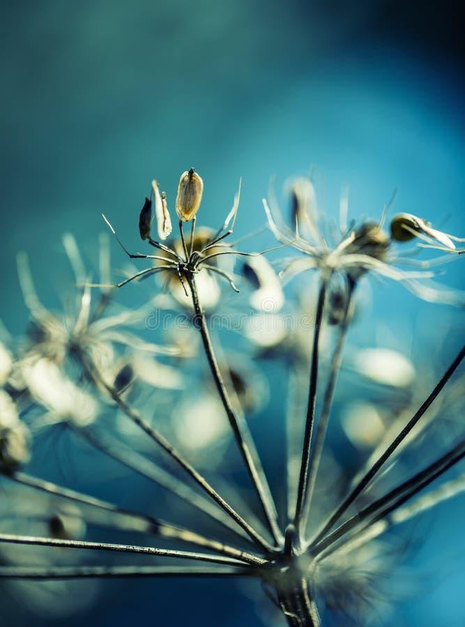 秋天颜色 秋天淡色和宏观射击的变干的植物山罗卜森林 库存照片