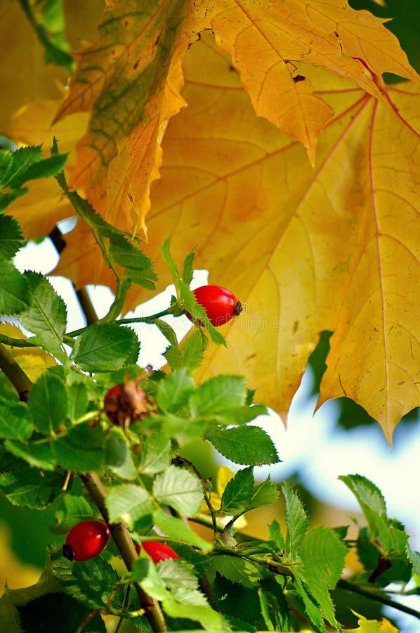 秋天风景用明亮的成熟野玫瑰果莓果在庭院里 图库摄影