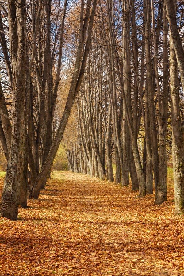 秋天风景:美好的秋天农村车道在高白杨树前面 库存图片