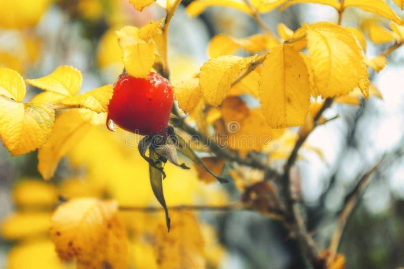 秋天风景-秋天灌木用野玫瑰果莓果 库存照片