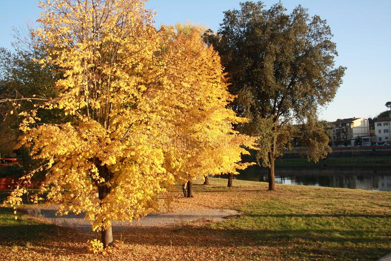 秋天黄色和绿色树在佛罗伦萨、意大利和河后面场面的 免版税库存图片