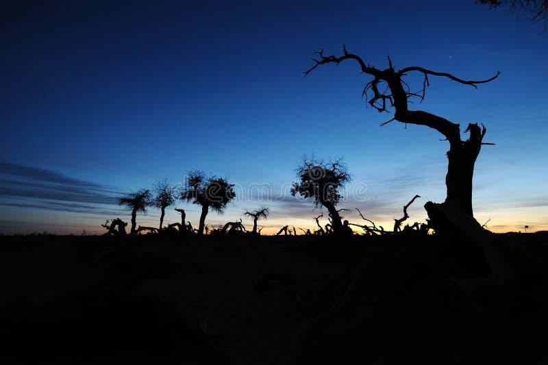 秋天黎明的停止的普遍的diversifolia森林 库存图片