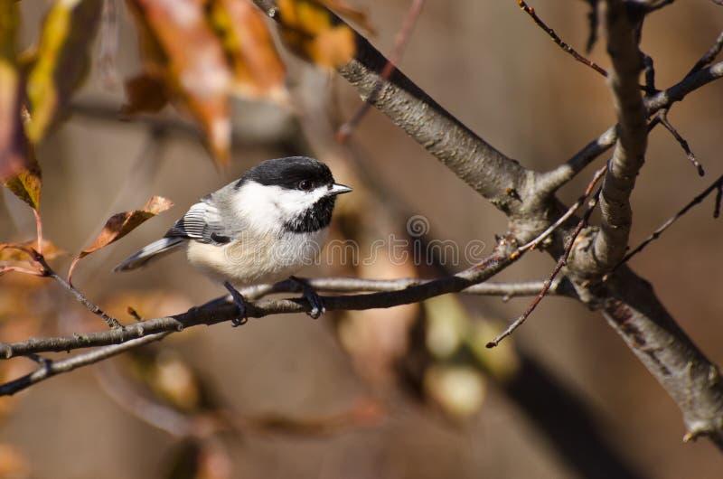 Download 秋天黑色加盖了山雀 库存照片. 图片 包括有 灰色, 盖帽, 肢体, 秋天, 野生生物, brander - 22353738