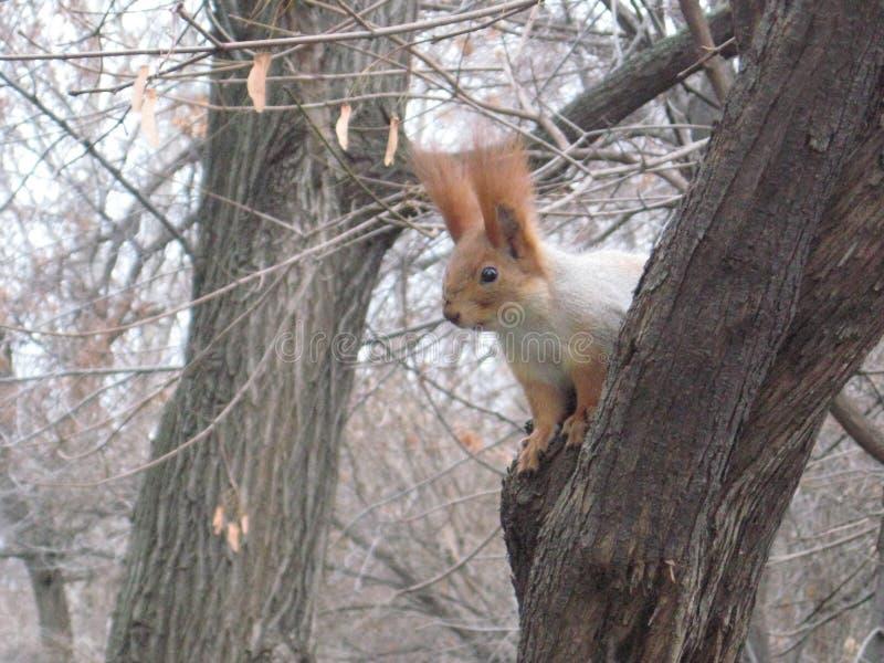 秋天,在树的灰鼠 免版税库存照片