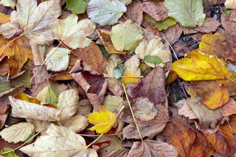 秋天 在草的多彩多姿的槭树叶子谎言 红色和橙色秋叶背景 库存照片