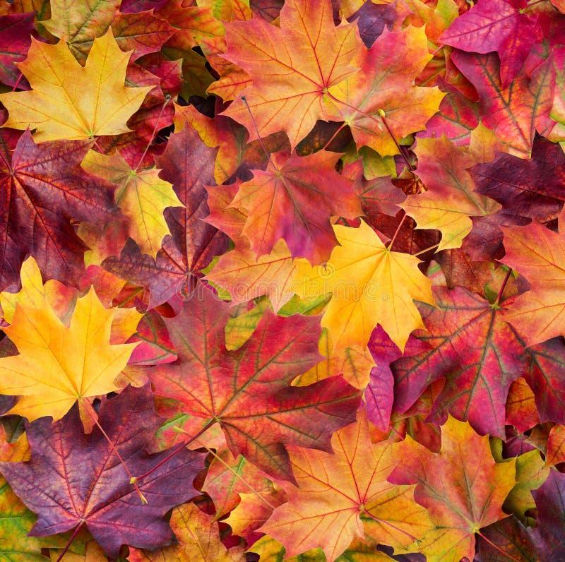 秋天 在草的多彩多姿的槭树叶子谎言 库存图片